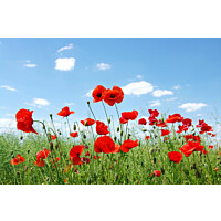 Paneelitapetti PhotoWallXL Field of Poppies 158008 4185x2790 mm