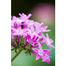 Paneelitapetti PhotoWallXL Pink Star Flower 158006 1860x2790 mm