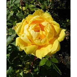 Persiankeltaruusu Rosa foetida Maisematukku Persian Yellow