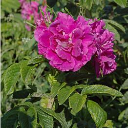 Pieni hansaruusu Rosa rugosa Maisematukku Moje Hammarberg