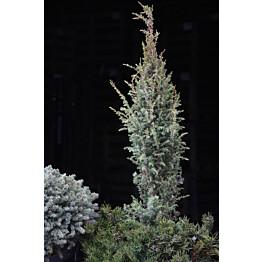 Pikkupilarikataja Juniperus communis Maisematukku Sentinel 50-60
