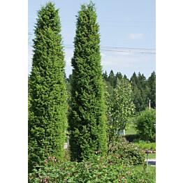 Pilarikataja Juniperus communis Maisematukku Suecica 80-100