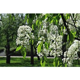 Pilvikirsikka Prunus pensylvanica Maisematukku 150-200