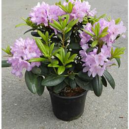Puistoalppiruusu Rhododendron Maisematukku Cataw. Grandiflorum 30-40