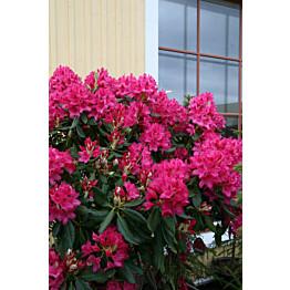 Puistoalppiruusu Rhododendron Maisematukku Nova Zembla 30-40