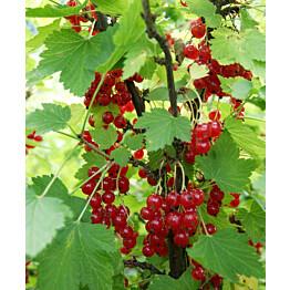 Punaherukka Ribes Maisematukku Punainen Hollantilainen
