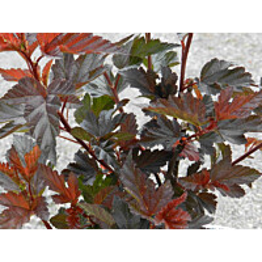 Purppuraheisiangervo Physocarpus opulifolius Maisematukku Diabolo