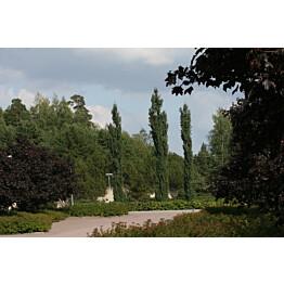 Pylväshaapa Populus tremula Maisematukku Erecta 150-200
