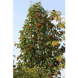 Pylväspihlaja Sorbus aucuparia Maisematukku Fastigiata 150-200