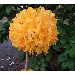 Revontuliatsalea Rhododendron Maisematukku Golden Lights 30-40