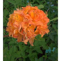 Revontuliatsalea Rhododendron Maisematukku Mandarin Lights 30-40