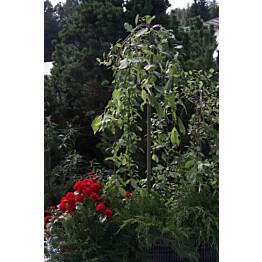 Riipparaita Salix caprea Maisematukku Pendula 120