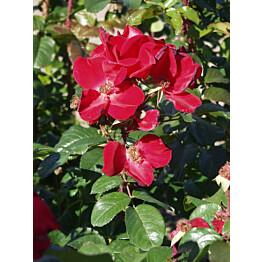 Robusta-ruusu Rosa Maisematukku