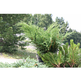 Rohtokataja Juniperus sabina Maisematukku 30-40
