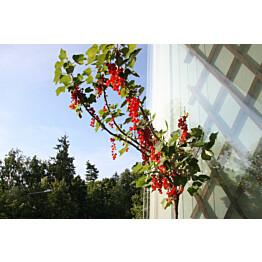 Rungollinen punaherukka Ribes rubrum Maisematukku
