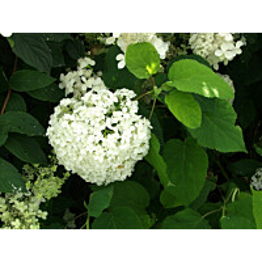 Rungollinen syyshortensia Hydrangea paniculata Maisematukku eri lajikkeita