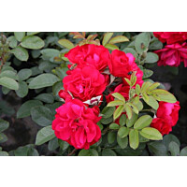 Ruusu Rosa Maisematukku Hansaland