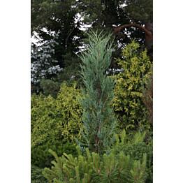 Sinikynäkataja Juniperus virginiana Maisematukku Blue Arrow 100-125