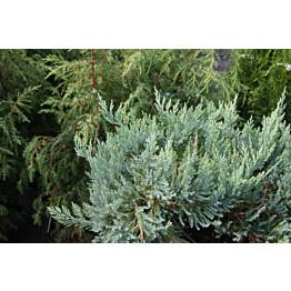 Sinilaakakataja Juniperus hor. Maisematukku Blue Chip 30-40