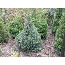 Sininen kartiovalkokuusi Picea glauca Maisematukku Sanders Blue 40-50