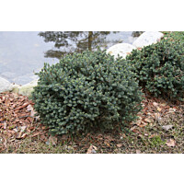 Sinisiilikuusi Picea glauca Maisematukku Echiniformis 25-30