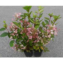 Syyshortensia Hydrangea paniculata Maisematukku Early Sensation