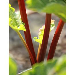 Tarharaparperi Rheum rhabarbarum Maisematukku Raspberry Red