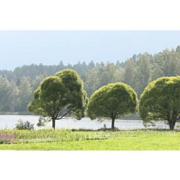 Terijoensalava Salix fragilis Maisematukku Bullata