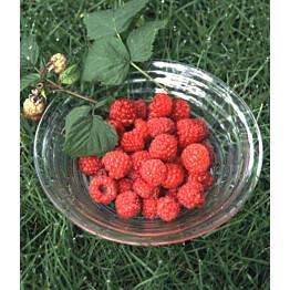 Vadelma Rubus idaeus Maisematukku Maurin Makea