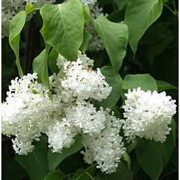 Valkoinen pihasyreeni Syringa vulgaris Maisematukku Alba
