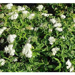 Valkoruusuangervo Spiraea jap. Maisematukku Albiflora