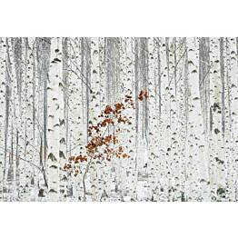 Valokuvatapetti Idealdecor Digital White Birch Forest 4-osaa 5104-4V-1 254x368 cm