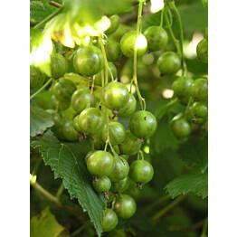 Viherherukka Ribes nigrum Maisematukku Vilma