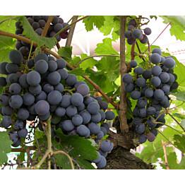 Viiniköynnös Vitis Maisematukku Zilga