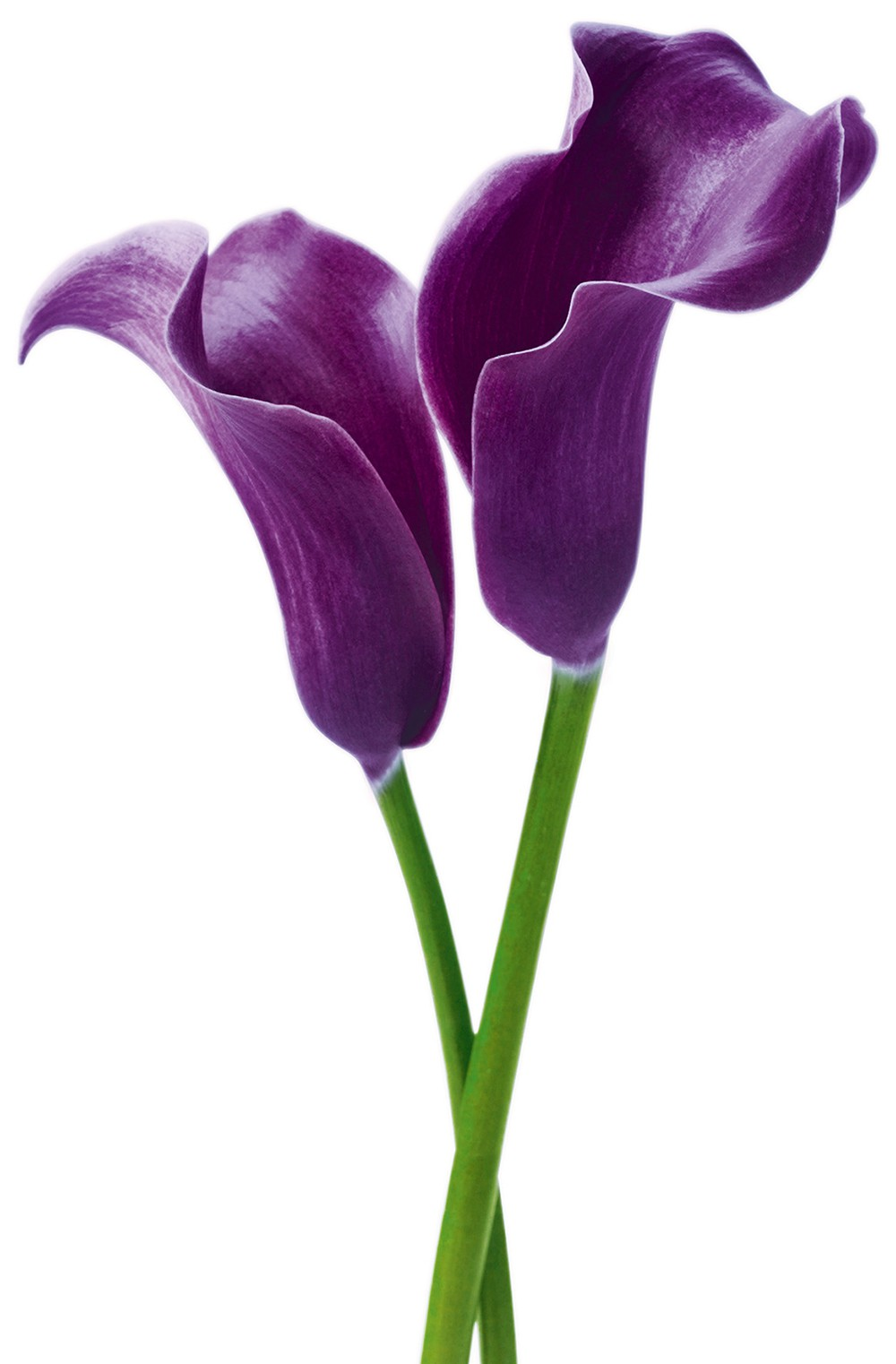 Juliste Giant Art 00675 Purple Calla Lilies 115x175 cm