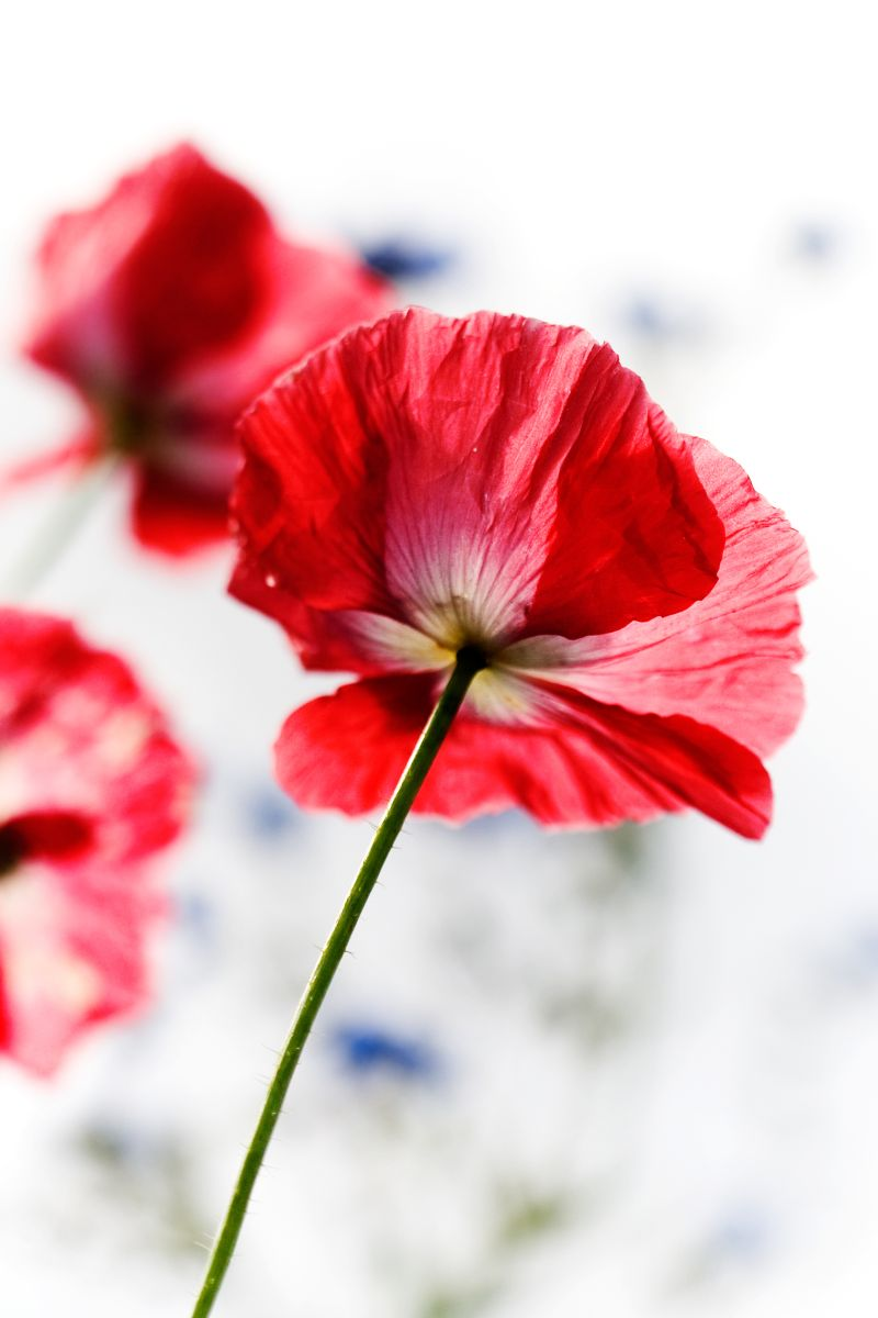 Paneelitapetti PhotoWallXL Red Poppy 158003 1860x2790 mm