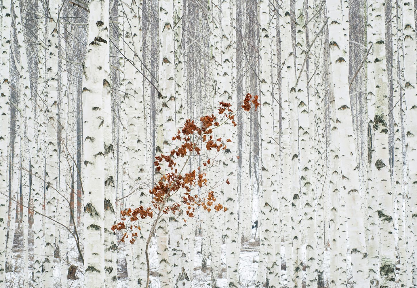 Valokuvatapetti Idealdecor Digital White Birch Forest 4-osaa 5104-4V-1 254x368 cm
